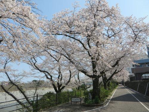 利根川沿いの桜並木