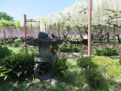 須賀の園の藤の花も