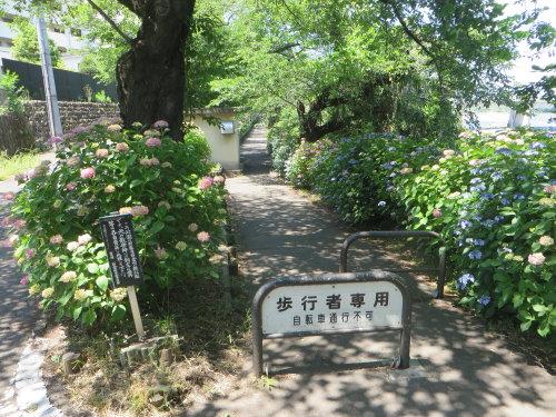 利根川沿いの紫陽花が見頃に