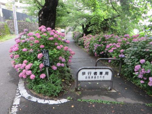 前橋市石倉町の緑公園の紫陽花は