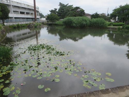 敷島公園には睡蓮の花
