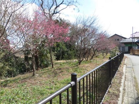 白梅も咲きだしたサイクリングロード