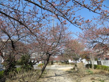 河津桜も咲き始めましたね