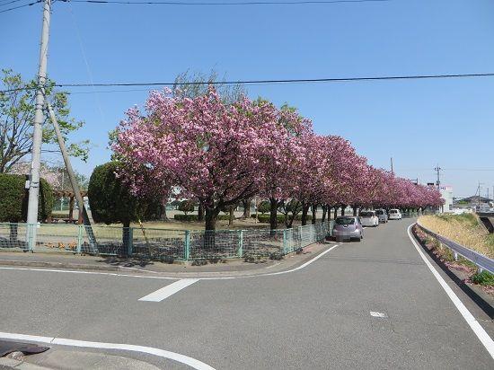 若宮公園の八重桜が見頃に